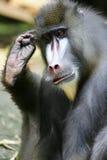 baboon mandrill Στοκ εικόνα με δικαίωμα ελεύθερης χρήσης