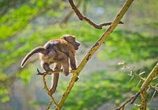 Baboon. Marmoset monkey African savannah. Baboon in their natura. L habitat royalty free stock image