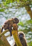 Baboon. Marmoset monkey African savannah. Baboon in their natura. L habitat royalty free stock images