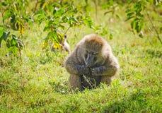 Baboon. Marmoset monkey African savannah. Baboon in their natura. L habitat stock photos