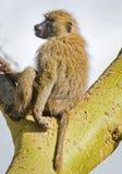Baboon. Marmoset monkey African savannah. Baboon in their natura. L habitat royalty free stock photo