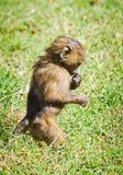 Baboon. Marmoset monkey African savannah. Baboon in their natura. L habitat stock images