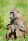 Baboon. Marmoset monkey African savannah. Baboon in their natura. L habitat stock image
