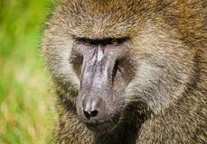 Baboon. Marmoset monkey African savannah. Baboon in their natura royalty free stock photo
