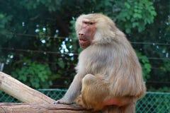 Baboon monkey. Baboon monkey sitting on the wood in zoo royalty free stock photo