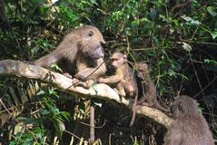 Baboon monkey Stock Photo
