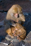 Baboon monkey Royalty Free Stock Photos