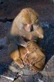 Baboon monkey. Female baboon monkey (Papio hamadryas) and her child royalty free stock photos