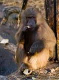Baboon monkey. Adult baboon monkey (Papio hamadryas) having a snack royalty free stock photos