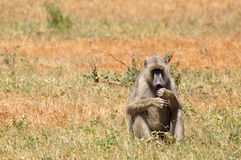 Baboon monkey Africa Royalty Free Stock Images