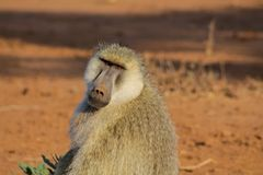 Baboon monkey in Africa wild nature. Life. African wildlife primate animal stock image
