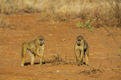 Baboon monkey in Africa wild nature. Life. African wildlife primate animal stock photography