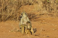 Baboon monkey in Africa wild nature. Life. African wildlife primate animal stock photos