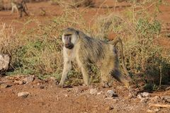 Baboon monkey in Africa wildlife stock images