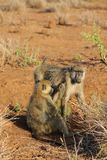 Baboon monkey in Africa wildlife stock photography