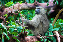 Baboon monkey in African bush. Lake Manyara National Park in Tanzania Royalty Free Stock Images