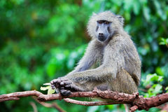 Baboon monkey in African bush. Lake Manyara National Park in Tanzania Stock Image