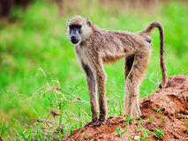 Baboon monkey in African bush. Kenya. Baboon monkey in African bush. Safari in Tsavo West, Kenya Royalty Free Stock Images
