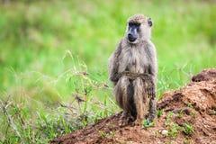 Baboon monkey in African bush. Safari in Tsavo West, Kenya Royalty Free Stock Photo