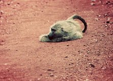 Baboon monkey on African road. Baboon monkey lying on red African soil. Lake Manyara National Park in Tanzania stock photos