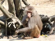 Baboon monkey in a zoo. Baboon Monkey animal Brown zoo branch tree sand Wood wild royalty free stock photo
