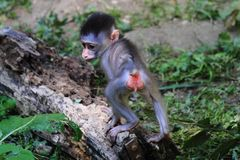Wild baboon monkey. Baboon monkey as nice and color animal stock photography