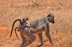 Baboon monkey with baby Africa. A baboon monkey running around in africa with her baby on her back royalty free stock photography