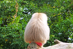 Baboon monkey. A baboon monkey from the back stock photography