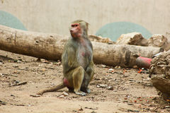 Baboon Monkey chilling in the zoo. Baboon Monkey living, eating and playing in the Savanna standing on mountains and rocks in the zoo stock image