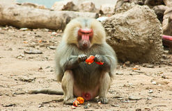 Baboon Monkey chilling in the zoo. Baboon Monkey living, eating and playing in the Savanna standing on mountains and rocks in the zoo royalty free stock image