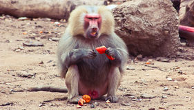 Baboon Monkey chilling in the zoo. Baboon Monkey living, eating and playing in the Savanna standing on mountains and rocks in the zoo stock photo