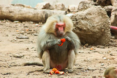 Baboon Monkey chilling in the zoo royalty free stock image