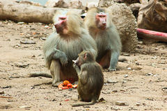 Baboon Monkey chilling in the zoo. Baboon Monkey living, eating and playing in the Savanna standing on mountains and rocks in the zoo royalty free stock photo
