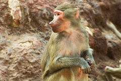 Baboon Monkey chilling in the zoo. Baboon Monkey living, eating and playing in the Savanna standing on mountains and rocks in the zoo royalty free stock photos