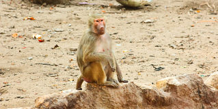 Baboon Monkey chilling in the zoo. Baboon Monkey living, eating and playing in the Savanna standing on mountains and rocks in the zoo royalty free stock images