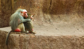 Baboon Monkey chilling in the zoo Royalty Free Stock Images