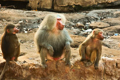Baboon Monkey chilling in the zoo Stock Photos