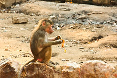 Baboon Monkey chilling in the zoo. Baboon Monkey living, eating and playing in the Savanna standing on mountains and rocks in the zoo stock photos