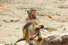 Baboon Monkey chilling in the zoo stock images