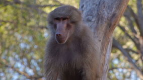 Baboon monkey climbing stock footage