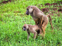 Baboon monkey copulation. Safari in Tsavo West, Kenya, Africa Stock Photo