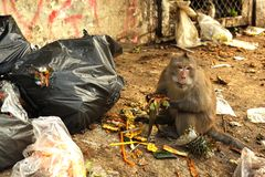 Baboon monkey eating from garbage bags. Close up photo royalty free stock image