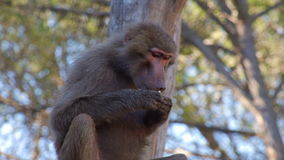 Baboon monkey eating peanuts stock video