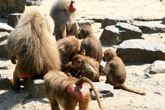 A baboon (monkey) family. The hamadryas baboon (Papio hamadryas) inhabits semi-arid plains and rocky hill country in Ethiopia and Somalia in Africa, and Saudi stock image