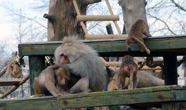 Baboon monkey family Royalty Free Stock Image