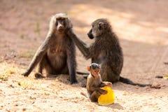 Baboon family. Baboon monkey family in Samburu national park Kenya stock photo