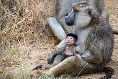 Baboon monkey. Female with little babe on her hands, Kenya royalty free stock photo