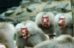 Baboon monkey in a fight. With two monkeys looking suprised (Motion Blurr fighting monkey stock photography