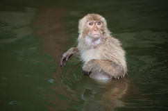Baboon monkey. A funny baboon monkey focus at something stock images