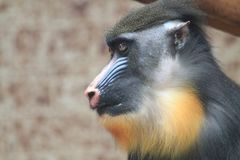 Baboon monkey head. As portrait of primate royalty free stock images
